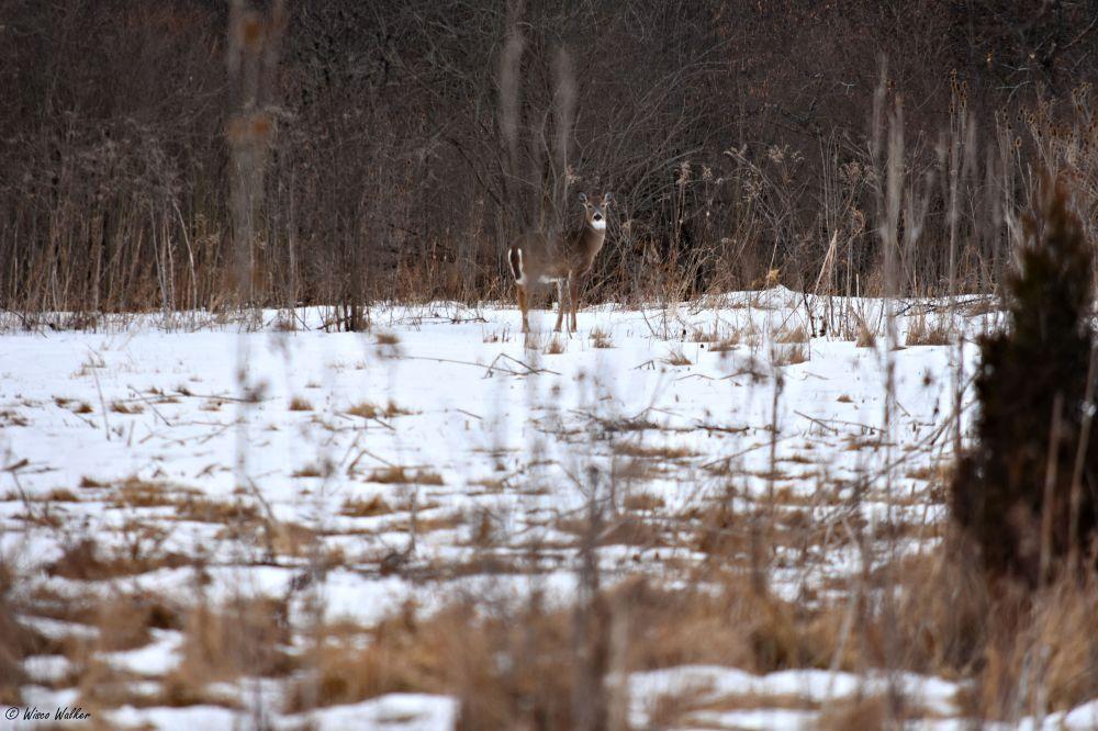 WW Deer