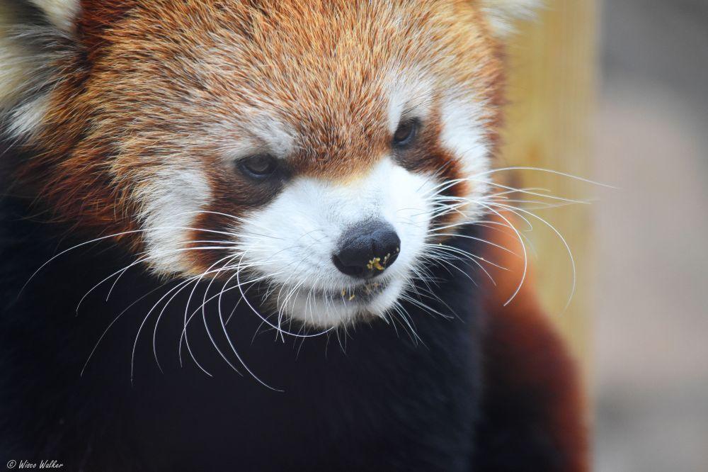 WW Red Panda